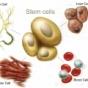 บทบาทของสเตมเซลล์เสริมความงามในปัจจุบัน