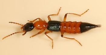 เตีอนระวัง...โรคผิวหนังอักเสบจากแมลงก้นกระดก